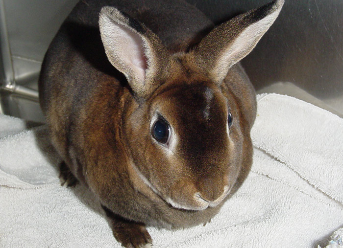 Rabbit Pet Care at Little Critters Veterinary Hospital in Gilbert & Mesa, AZ